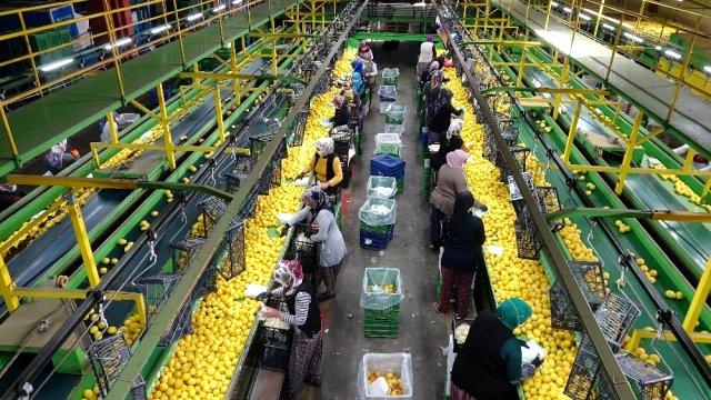Limonda 10 bin ton ihracat izni sevindirdi